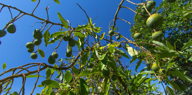 avocado deforestation