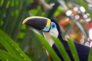 toucan biodiversity