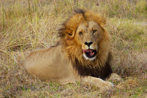CITES conference in Geneva will address the illicit wildlife trade in endangered animals such as lions