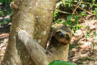 sloth-Pernambuco Brazil biodiversity