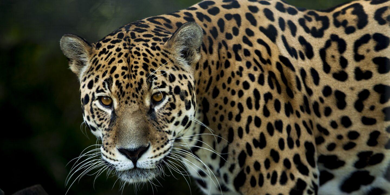 jaguar trafficking